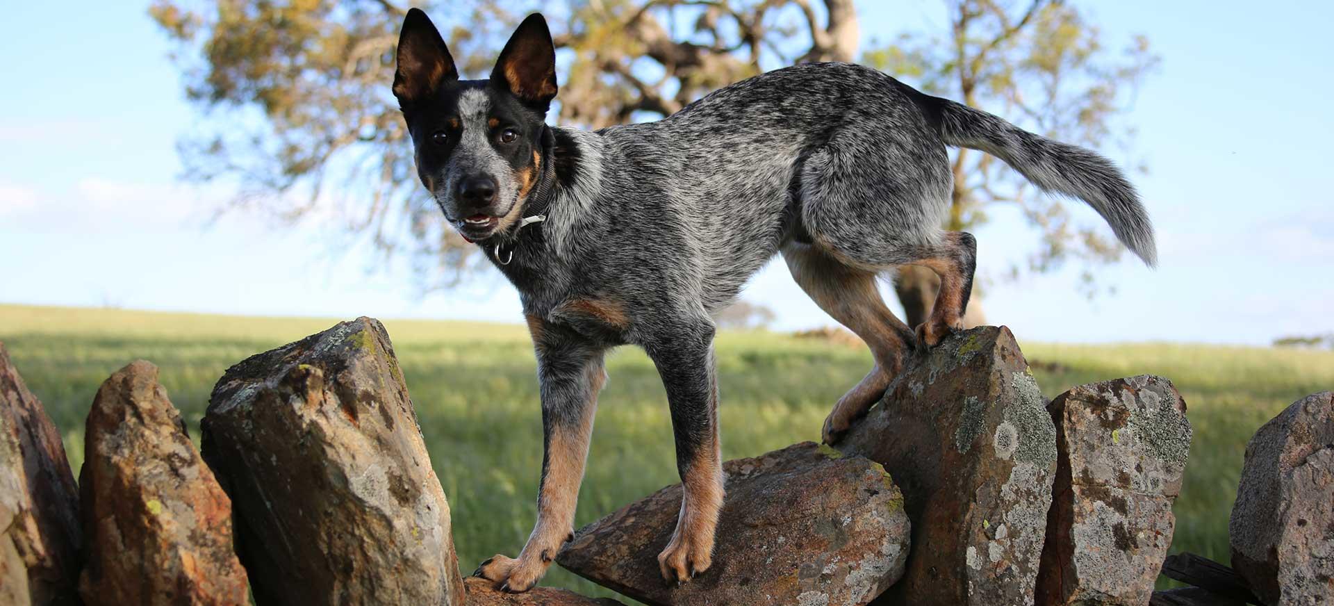 Gibson family dog